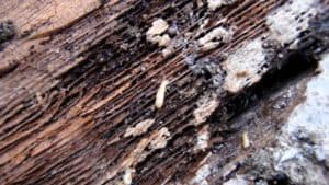 termites on wooden beam