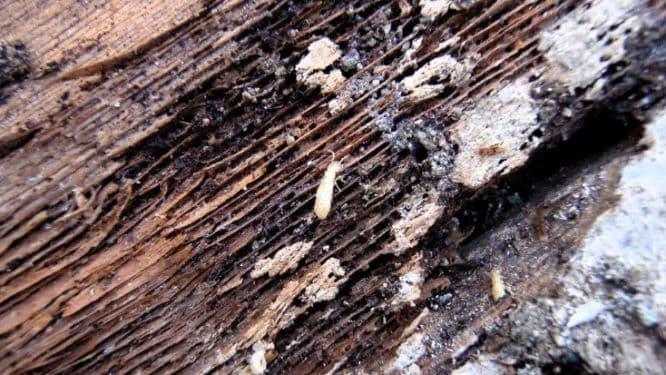 termites on wooden beam