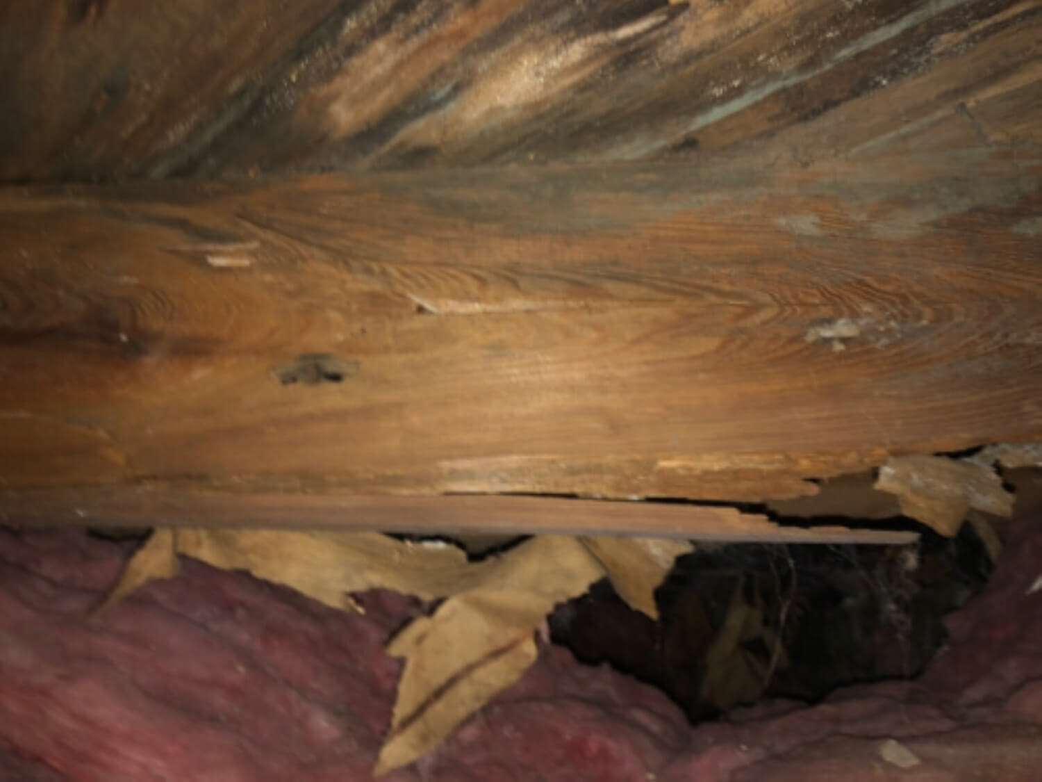 A decaying floor joist with saturated and falling insulation